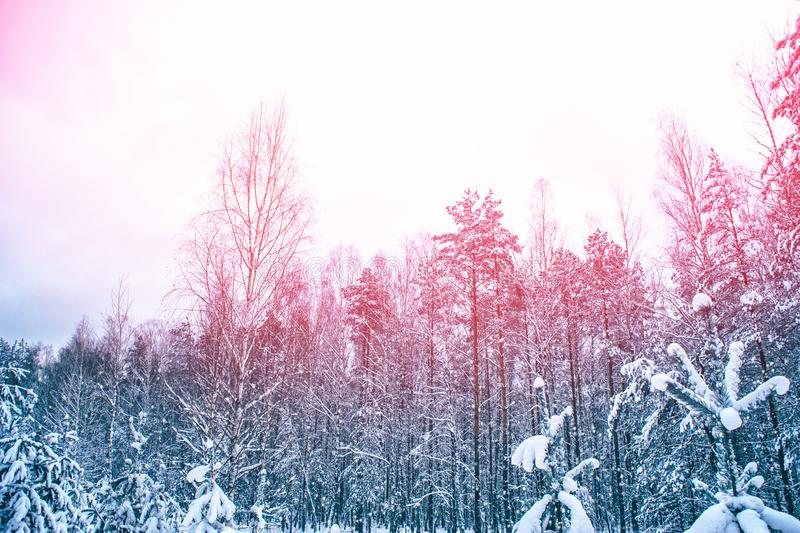 Winter forest with snow covered trees. Frozen winter forest with snow covered trees royalty free stock photo