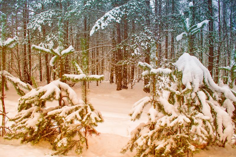 Winter forest with snow covered trees. Frozen winter forest with snow covered trees stock photography