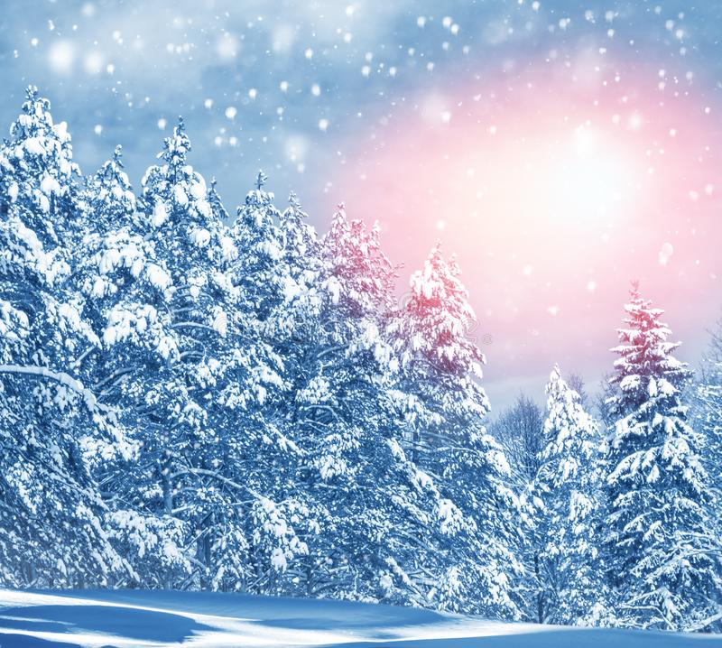 Winter forest with snow covered trees. Frozen winter forest with snow covered trees royalty free stock photography