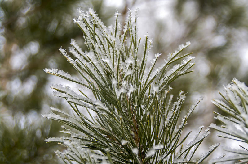 Frozen winter pine branches royalty free stock images