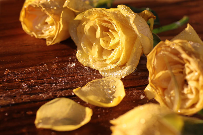 Download Frozen yellow roses stock photo. Image of roses, birthday - 24750764