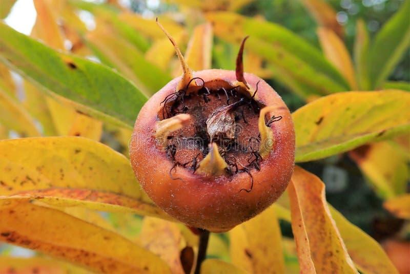 Frucht allgemeinen Mispel Mespilus germanica lizenzfreie stockfotografie