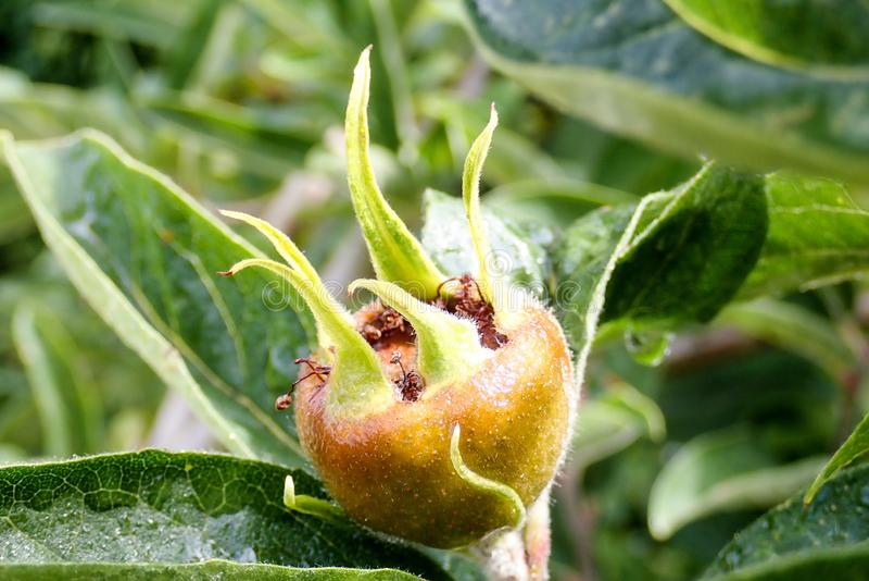 Frucht allgemeinen Mispel Mespilus germanica stockfoto