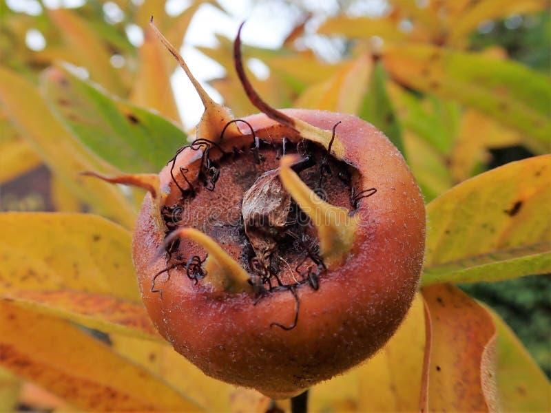 Frucht allgemeinen Mispel Mespilus germanica stockfotos