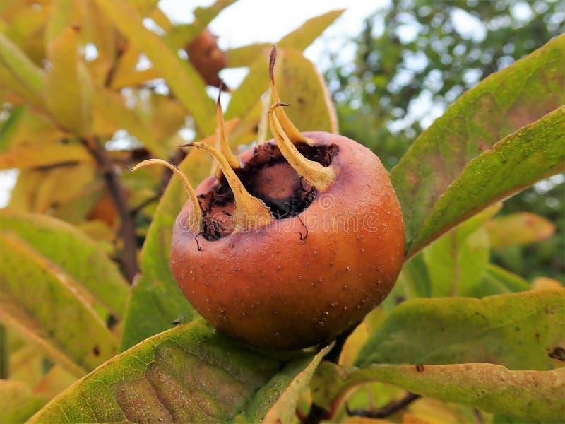 Frucht allgemeinen Mispel Mespilus germanica lizenzfreies stockbild