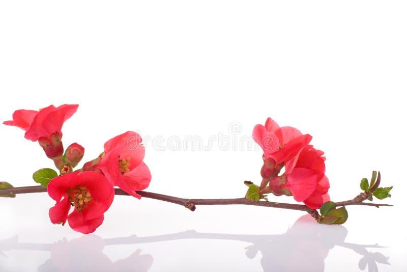 Frucht-Baum Rotblumen lizenzfreies stockbild