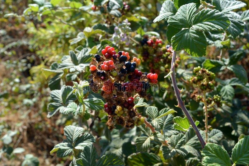 Frucht der Brombeere auf der Bank des Tsalmon-Nebenflusses in Israel stockbilder