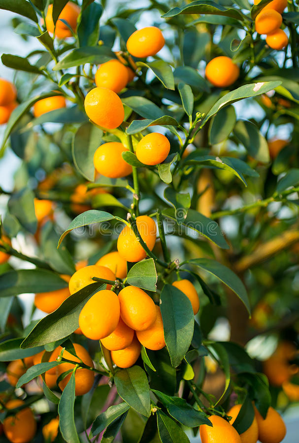 Frucht der japanischen Orange auf dem Baum im Obstgarten lizenzfreies stockfoto