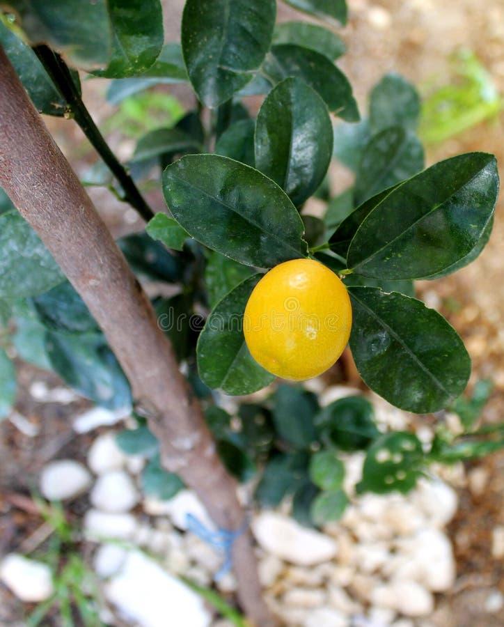 Frucht der japanischen Orange reif auf einem Baum stockfotos