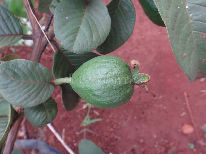 Frucht der Psidium- guayavaanlage stockfotos