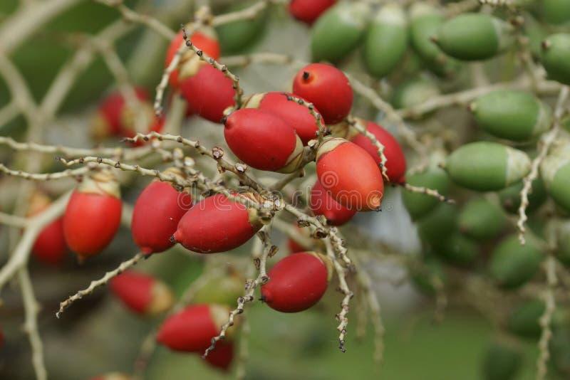 Frucht der Weihnachtspalme, Sao Tome stockbild