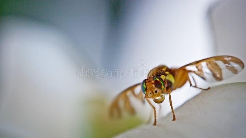 Frucht-Fliege stockbilder