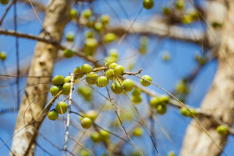 Frucht-indische Stachelbeere auf dem Baum, Phyllanthus-emblica Emblik myrablan, Malakka-Baum, lizenzfreies stockfoto