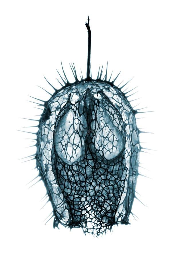 Frucht von Echinocystis-Lobata stockbilder