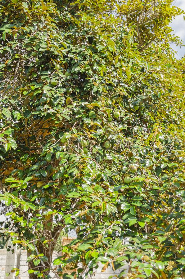 Fruchtbare Niederlassungen von Stern-Äpfeln stockbilder