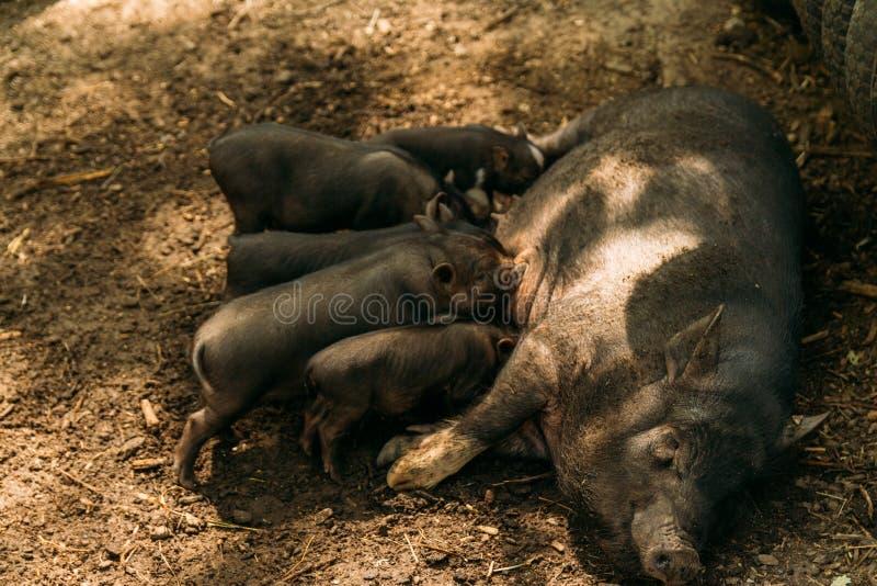 Fruchtbare Sau, die auf dem Stroh und Ferkeln säugen liegt Bauernhof, Zoo Vietnameseschweine lizenzfreies stockfoto