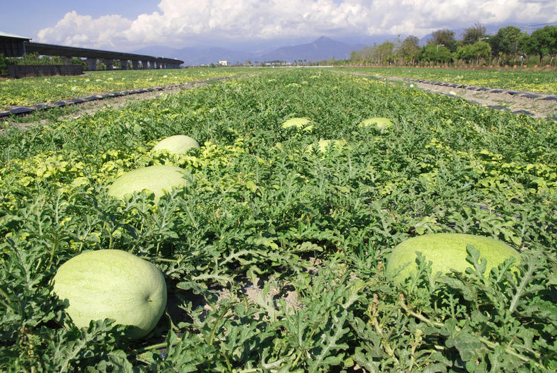 Fruchtbauernhof, Wassermelone. stockfoto