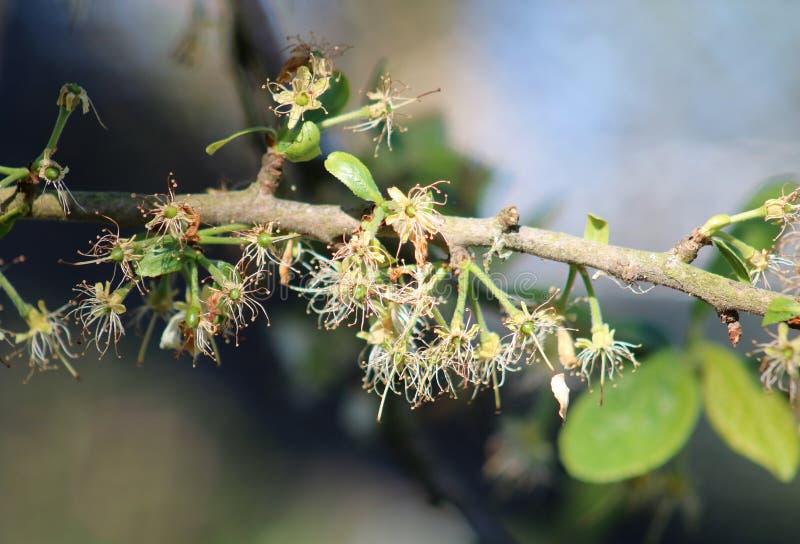Fruchtform victoria plum prunus domestica tree stockfotografie