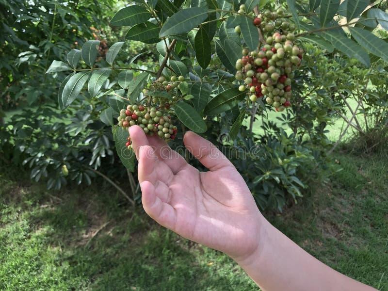 Fruchtsammeln stockfoto