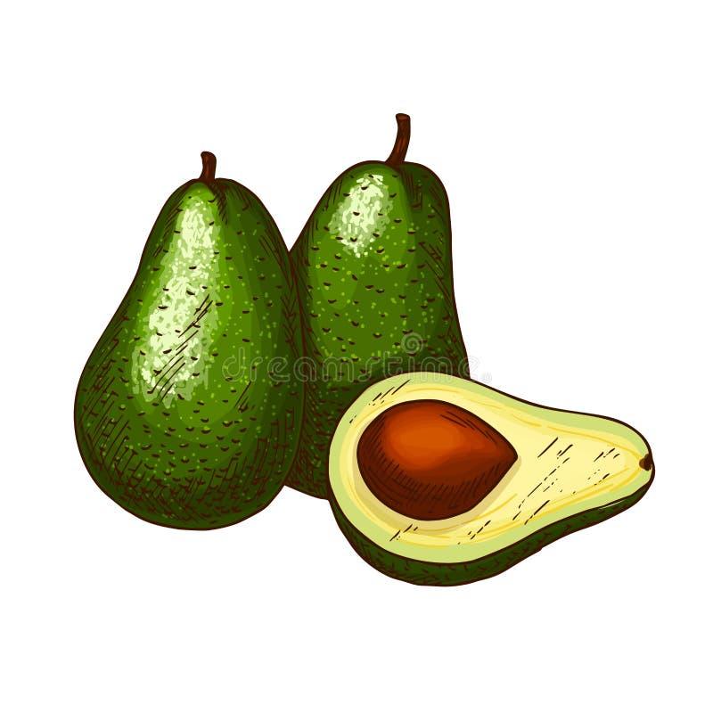 Fruchtvektor-Skizzenikone der Avocado tropische exotische vektor abbildung