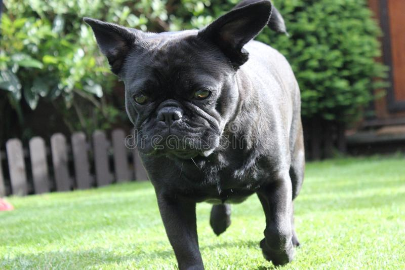 Frug-Hund, der auf Graslandschaft waling ist stockfotografie