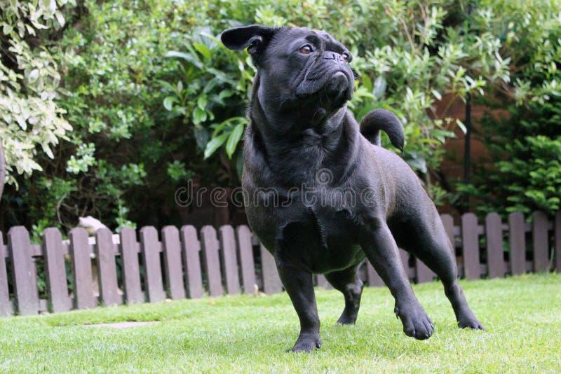 Frug-Hund gesessen auf Graslandschaft stockfotos