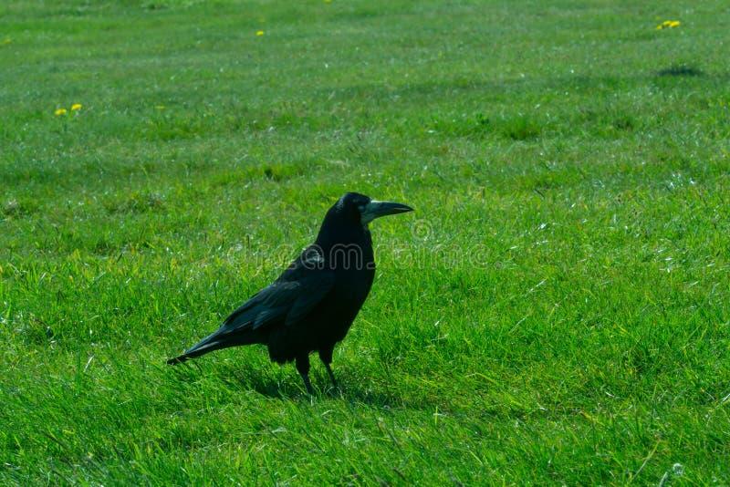 Frugilegus del Corvus - cuervos y cuervos de Stonehenge imagen de archivo
