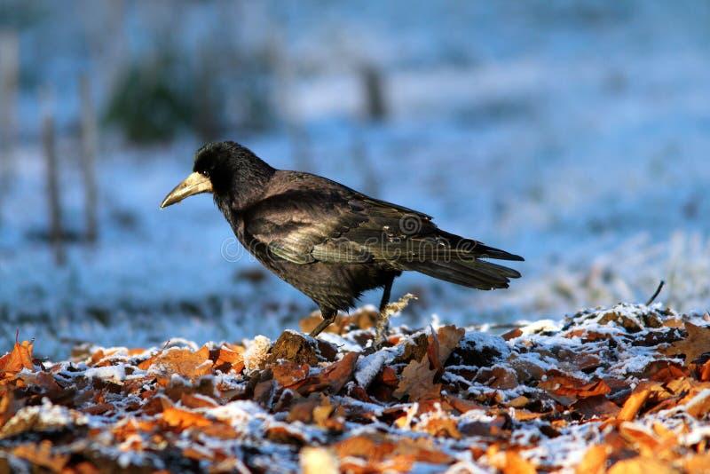 Frugilegus del Corvus que forrajea en la tierra foto de archivo