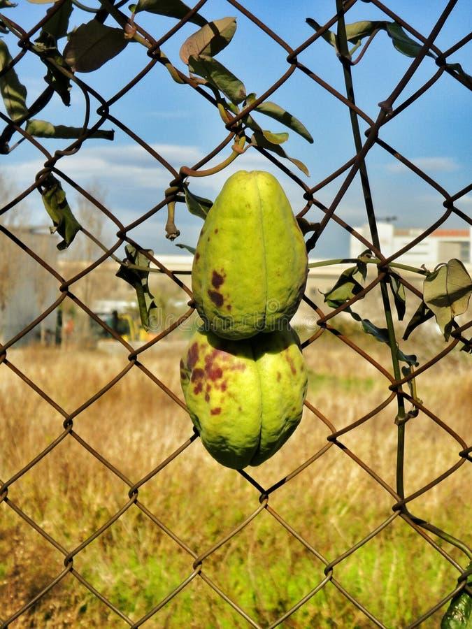 Download Fruit étrange d'usine photo stock. Image du vert, nature - 56486018