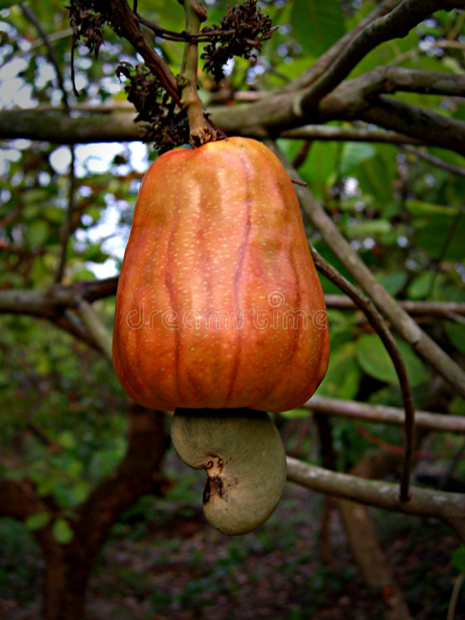 Download Fruit_03 stock image. Image of cashew, output, crop, seed - 705947