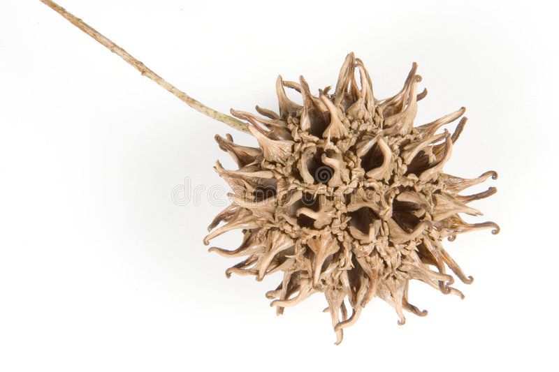 Download Fruit #2 de Sweetgum image stock. Image du environnement - 53987