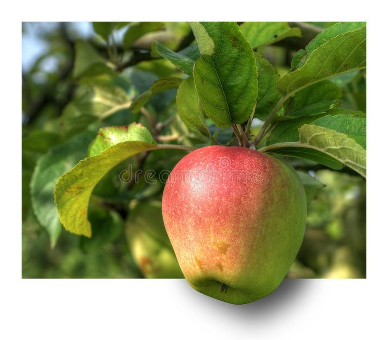 Fruit, Apple, arbre fruitier, nourritures naturelles images stock