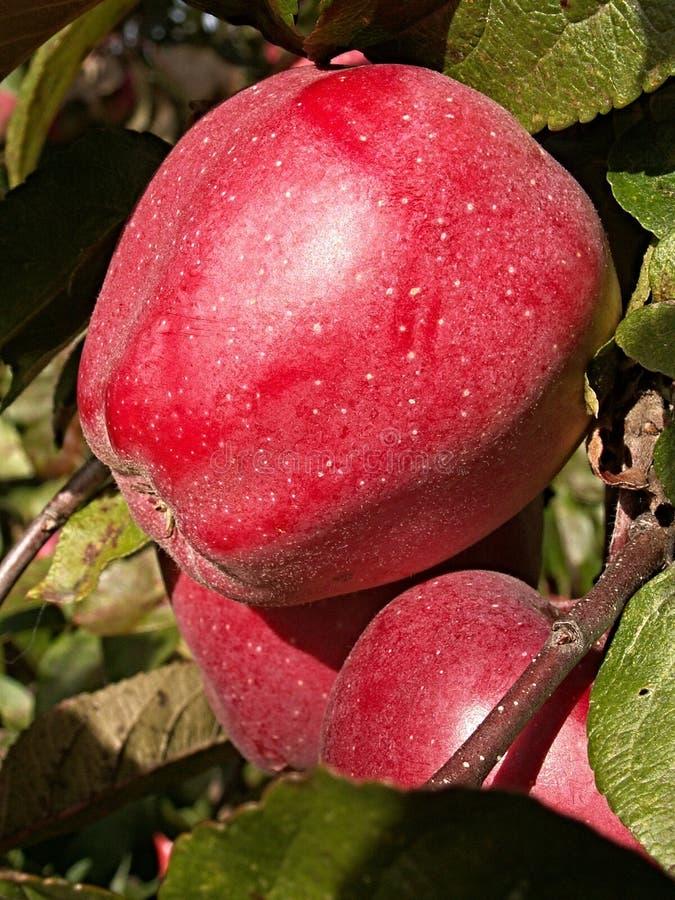 Fruit, Apple, nourriture locale, pêche image stock