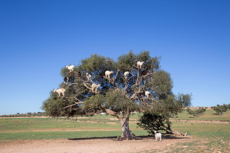 Sheep climbing on Argan tree near Marrakech stock photography