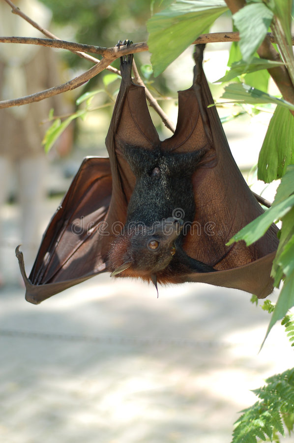 Fruit Bat 1 royalty free stock photos