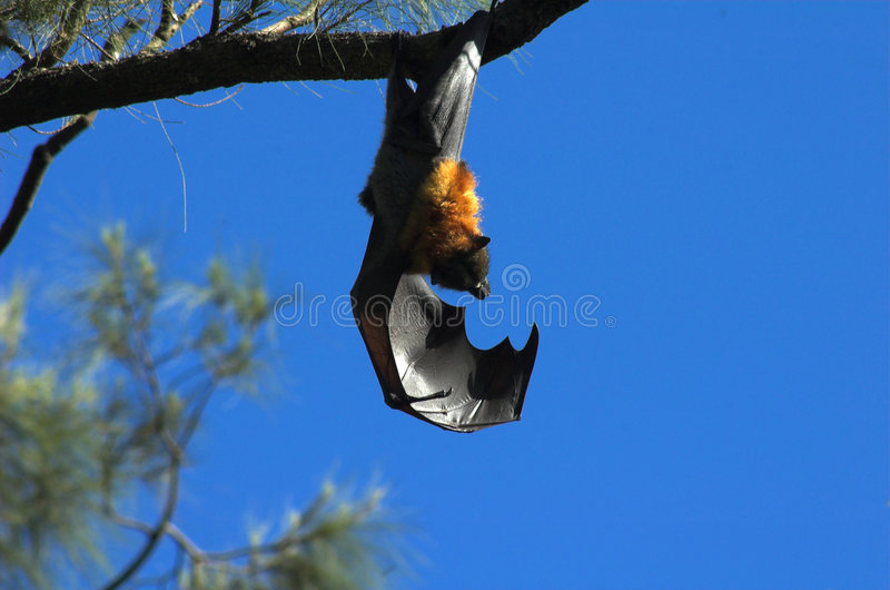 Download Fruit Bat stock photo. Image of hanging, nocturnal, wildlife - 580148