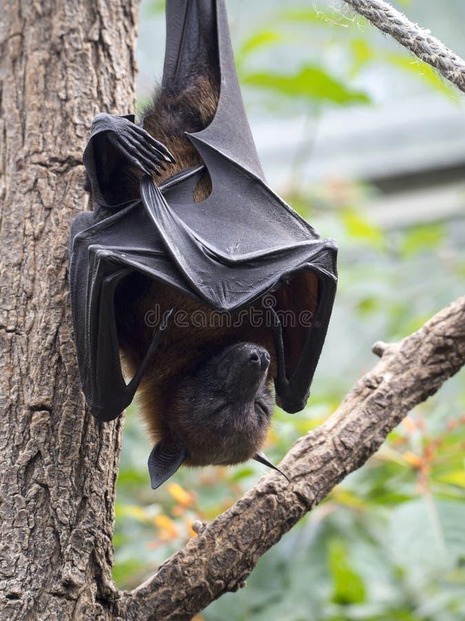 Free Fruit Bat Royalty Free Stock Image - 74585016