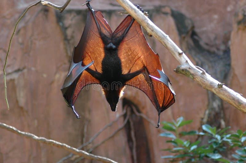 Fruit bat wings royalty free stock image