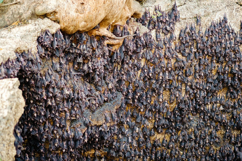 Fruit bats colony. Fruit bats or megabats colony at Monfort bat cave in Samal island of Davao - Philippines as the one holding Guinness world record for the stock photo