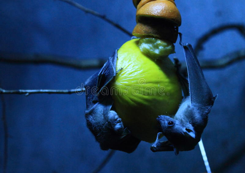 Fruit bats. On fruits in night stock image