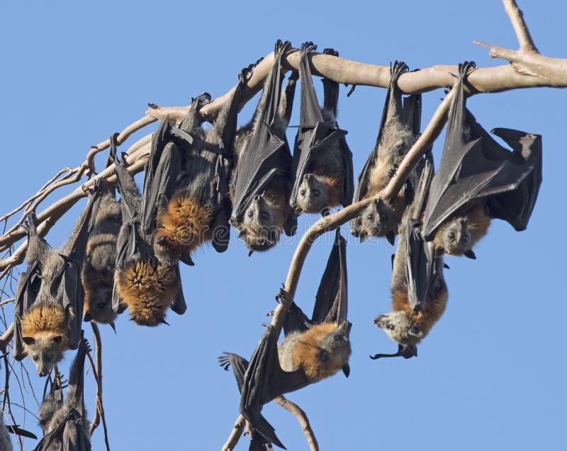Fruit bats royalty free stock photography