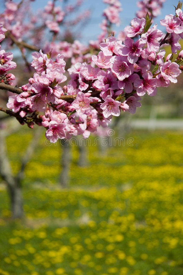 Fruit Blossoms. Branch of pink fruit blossoms in field of dandelions stock image