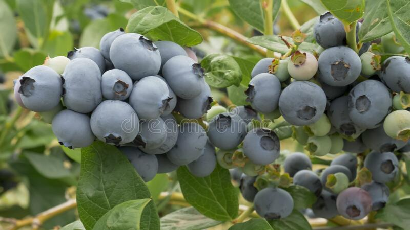 Fruit on blueberry bushes at a farm near bellingham in the us pacific northwest. Fruit on blueberry bushes at a farm near bellingham washington in the us pacific stock images