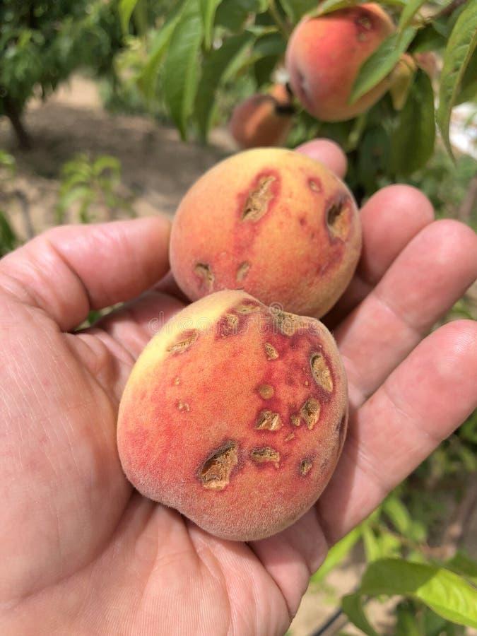 Fruit détruit par la grêle image stock