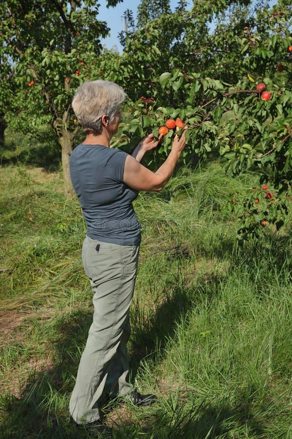 Fruit d'abricot de cueillette d'agriculteur dans le verger image libre de droits