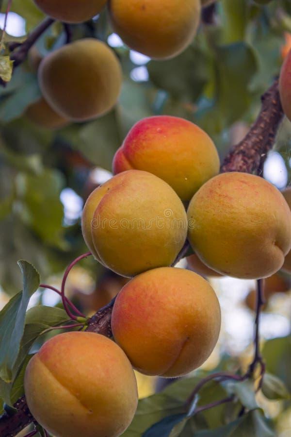 Fruit d'abricot sur une branche photo libre de droits