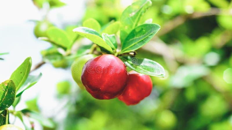 Fruit d'Acerola sur la branche d'arbre photo libre de droits