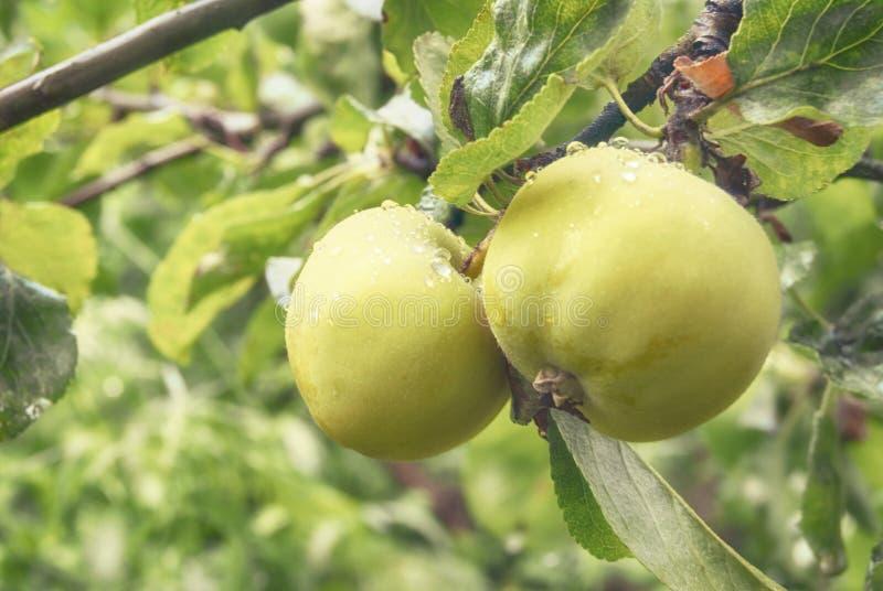 Fruit d'une jeune pomme jaune verte s'élevant sur une branche dans un plan rapproché de jardin de ressort photos libres de droits