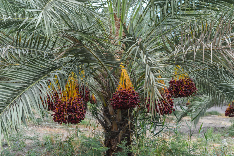 Fruit of the date palm. Kibbutz Kineret, Israel royalty free stock photography
