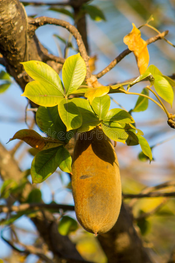 Fruit de baobab photographie stock libre de droits